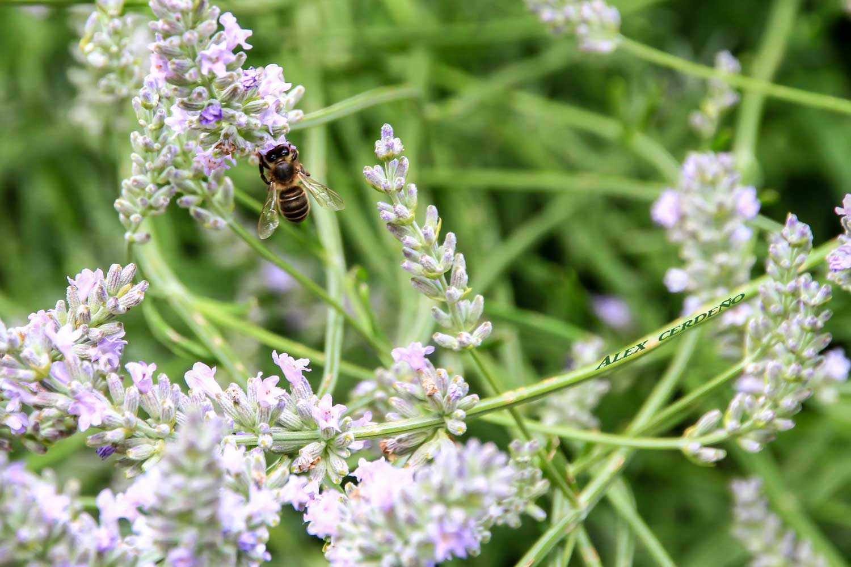Una abeja Libando una flor