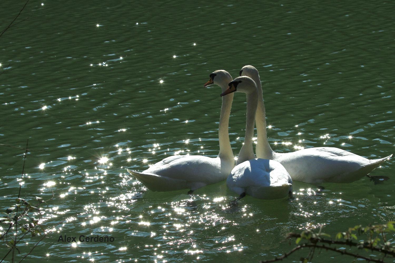 Cisnes en el parque Mendikosolo