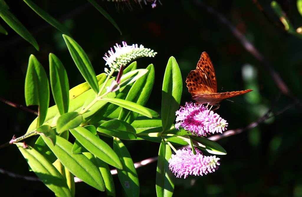 Una Mariposa libando en una flor silvestre en Galdames