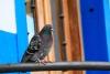 Una paloma en bermeo