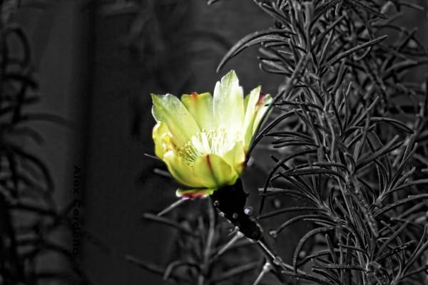 Flor-de-captus11