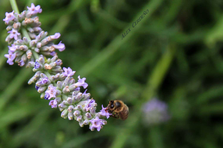 Una abeja Libando